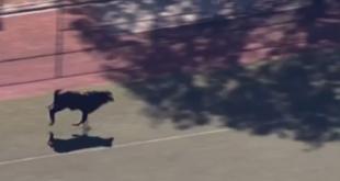 Junger Stier flüchtet aus Schlachthaus in Brooklyn