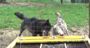 Von wegen einsamer Wolf – Wölfe sind Teamplayer