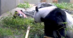 Pandababy Xiang Xiang bringt Herzen zum Schmelzen