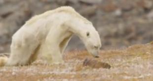 Video von verhungerndem Eisbär erschüttert das Netz