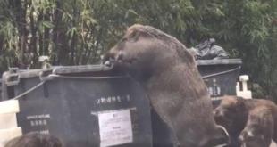 Wildschweine plündern Müllcontainer in Hong Kong