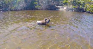 Schwimmender Koala lässt verblüffte Touristen hinter sich zurück
